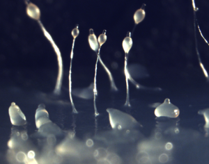 Dictyostelium discoideum slugs (bottom) and stalks with spore masses on top. Photo credit: Owen Gilbert