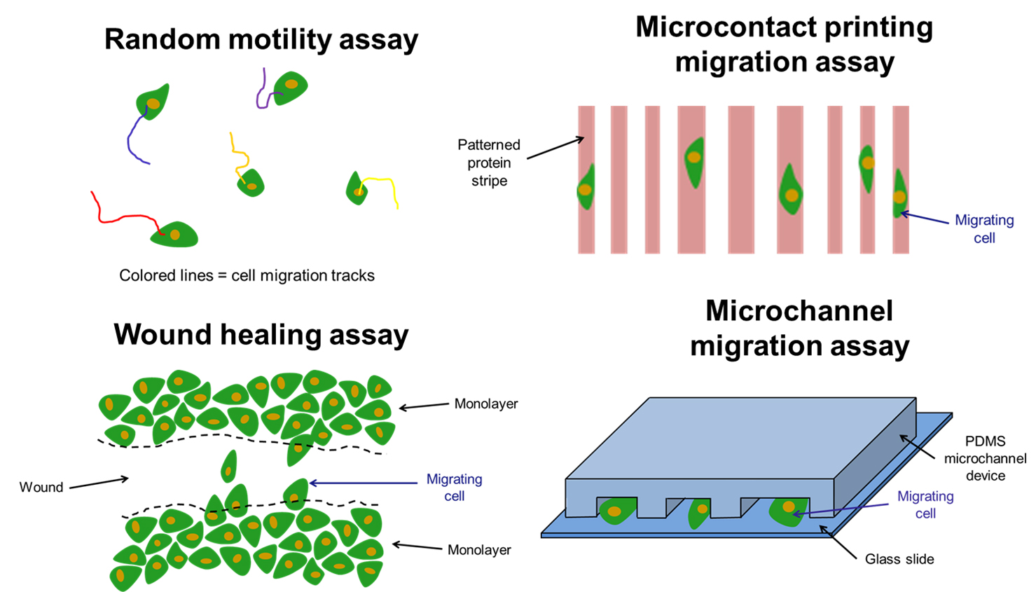 Cell migration assays