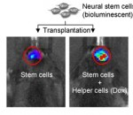 Luminescent stem cells transplanted into mice alone (left) and with helper cells (right), shown one day after transplantation. Credit: Yajie Liang